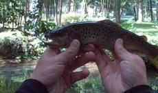 test de la St Croix trout spin,  prise d'une truite sauvage ( Pas de Calais)